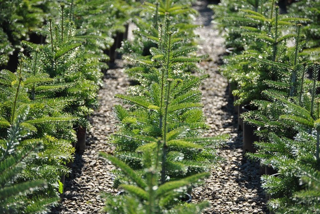 Find Plants Page 6 Wholesale Nursery Supplies Plant Growers In