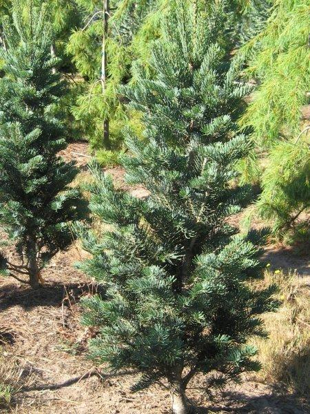 Abies concolor 'Fastigiata'