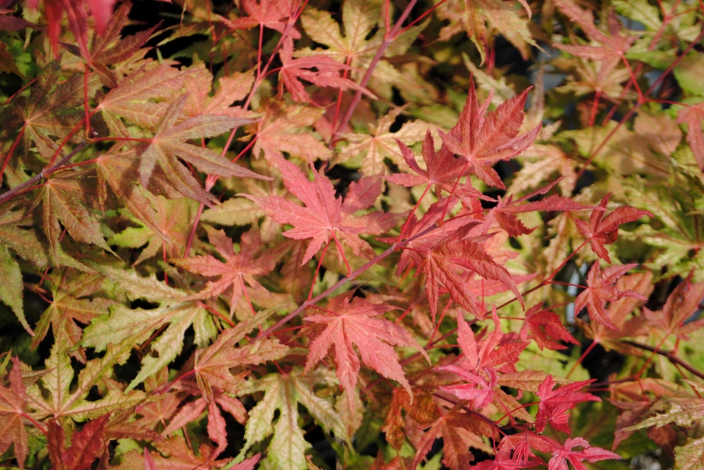 Acer palmatum 'Baby Ghost'