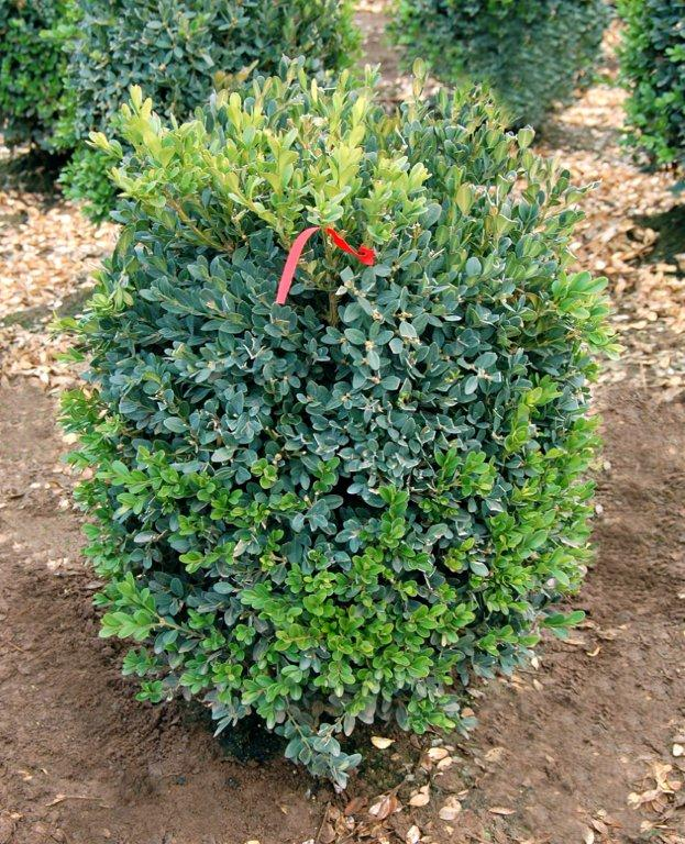 Buxus x 'Green Mountain'
