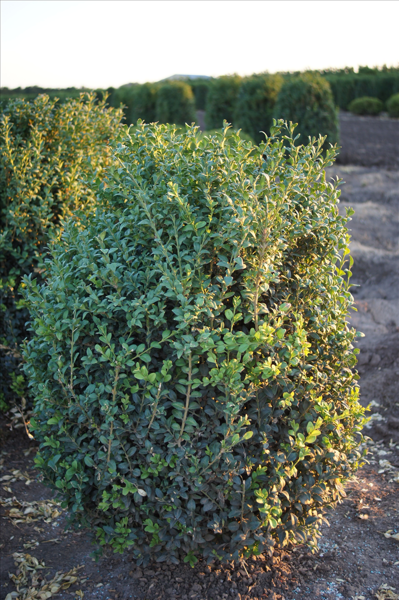 Buxus microphylla 'Julia Jane'