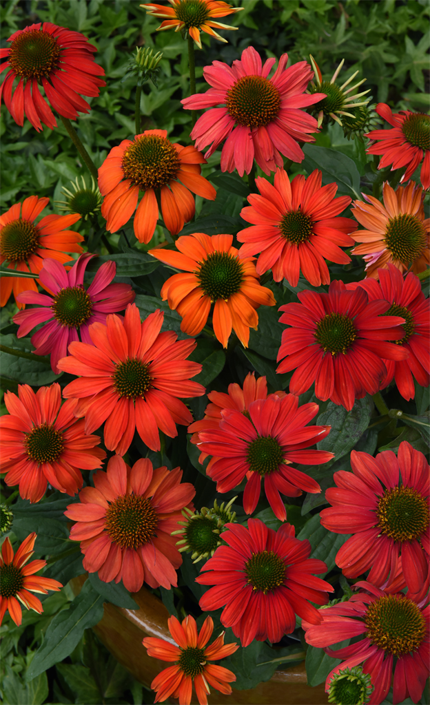 Echinacea x hybrida Artisan™ 'Red Ombre' PAS1257973 US7,982,110