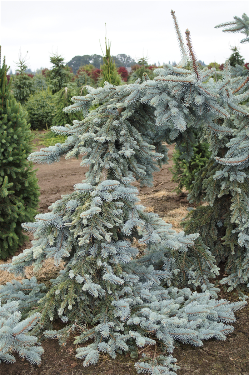 Picea Pungens Koster Pendula