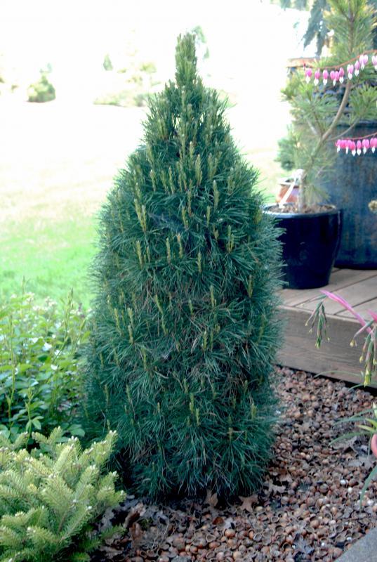 Pinus Sylvestris Green Penguin