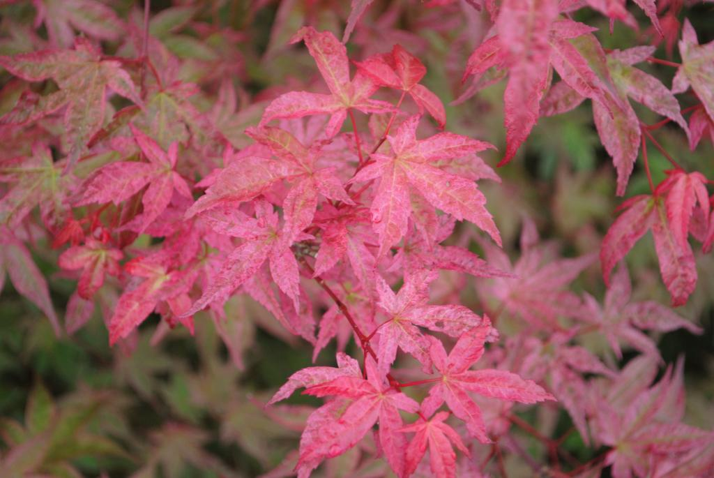 Acer palmatum 'Shishio Improved'