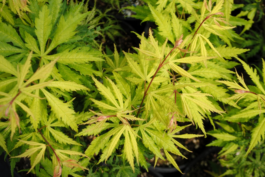 Acer palmatum 'Sister Ghost'