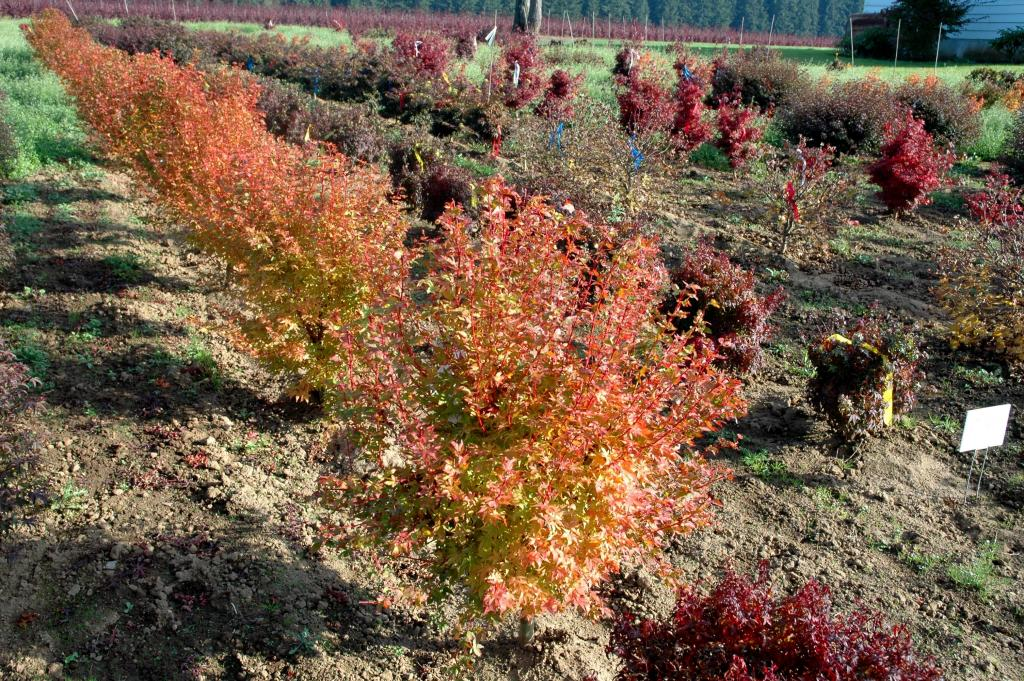 Acer palmatum 'Winter Flame'