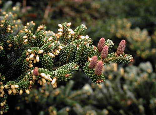 Abies koreana Grafted Cultivars
