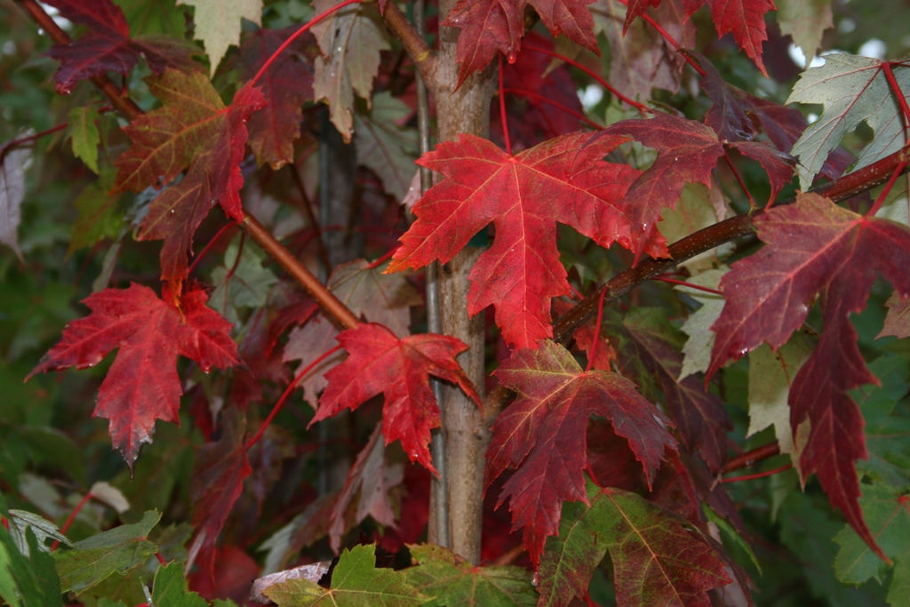 Acer x freemanii 'Jeffersred'