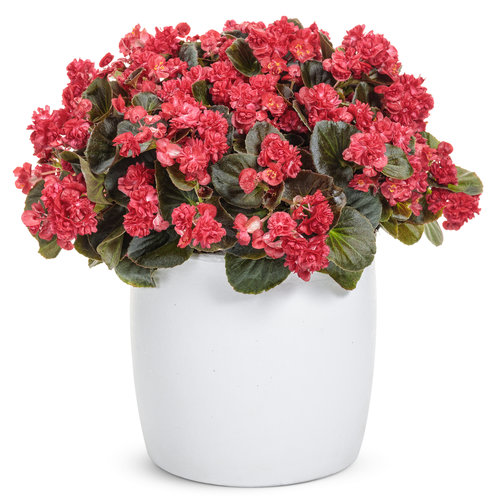 Begonia semperflorens Double Up™ Red