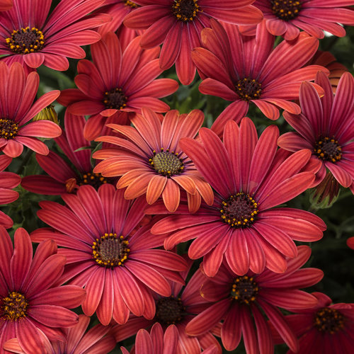 Osteospermum hybrid Bright Lights™ Red USPPAF, Can PBRAF