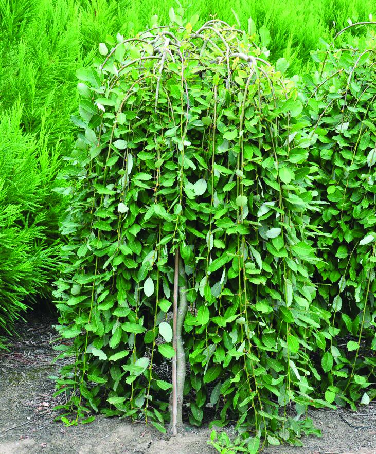Vermont willow nursery