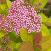 Spiraea japonica 'Tracy' PP21588