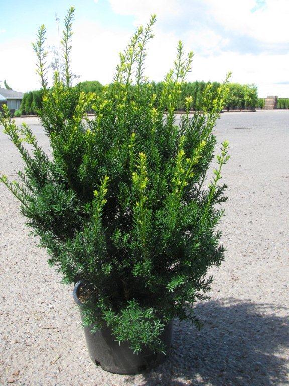 find plants page 12 wholesale nursery supplies plant. Black Bedroom Furniture Sets. Home Design Ideas
