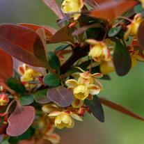 Berberis thunbergii var. atropurpurea 'Rose Glow' (Red Japanese Barberry)