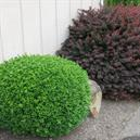 Buxus x 'Green Gem'
