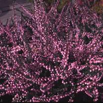Calluna vulgaris 'H.E. Beale' (Scotch Heather)