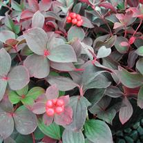 Cornus canadensis (Bunchberry or Creeping Dogwood)