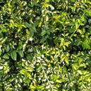 Euonymus fortunei 'Moonshadow'