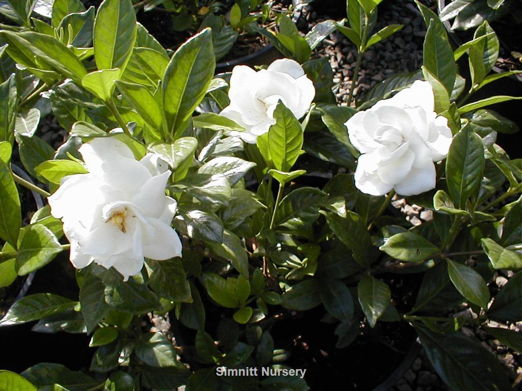 Gardenia Chuck Hayes Hardy
