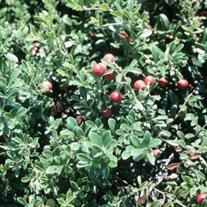 Arctostaphylos uva-ursi 'Massachusetts' (Common Bearberry or Kinnikinnick)