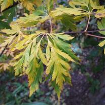 Acer circinatum 'Monroe' (Vine Maple)