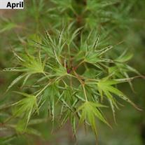 Acer Palmatum Okushimo Wholesale Nursery Supplies Plant