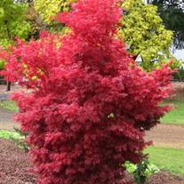 Acer palmatum 'Skeeter's Broom'