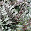 Ferns (Tropical & Foliage Plants section)