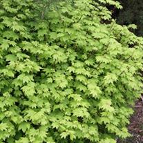 Acer circinatum (Vine Maple)