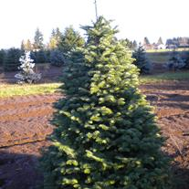 Christmas Tree Farms In Salem Oregon