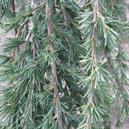 Cedrus libani 'Beacon Hill'