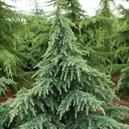 Cedrus deodara 'Prostrate Beauty'