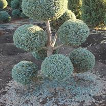 Chamaecyparis Pisifera Cyano Viridis Topiary