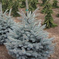 Picea pungens 'Baby Blue Eyes'