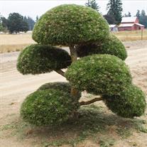 Pinus Nigra Topiary