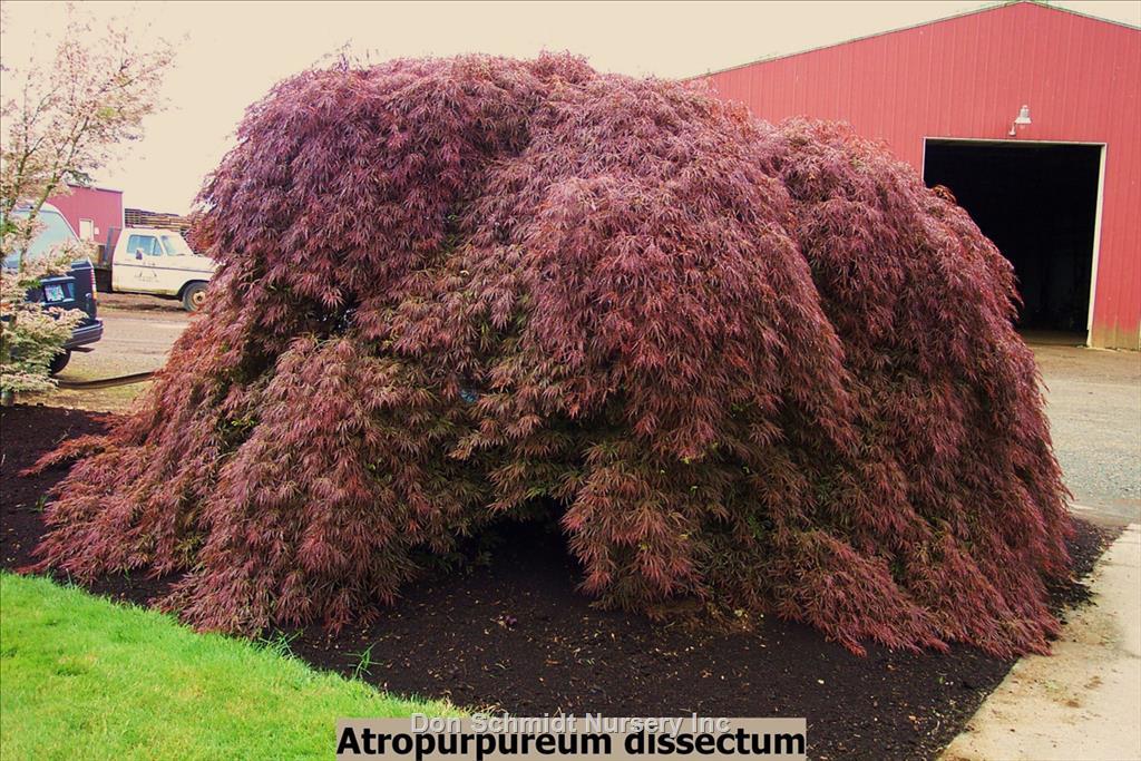 Acer Palmatum Var Dissectum Atropurpureum Wholesale Nursery