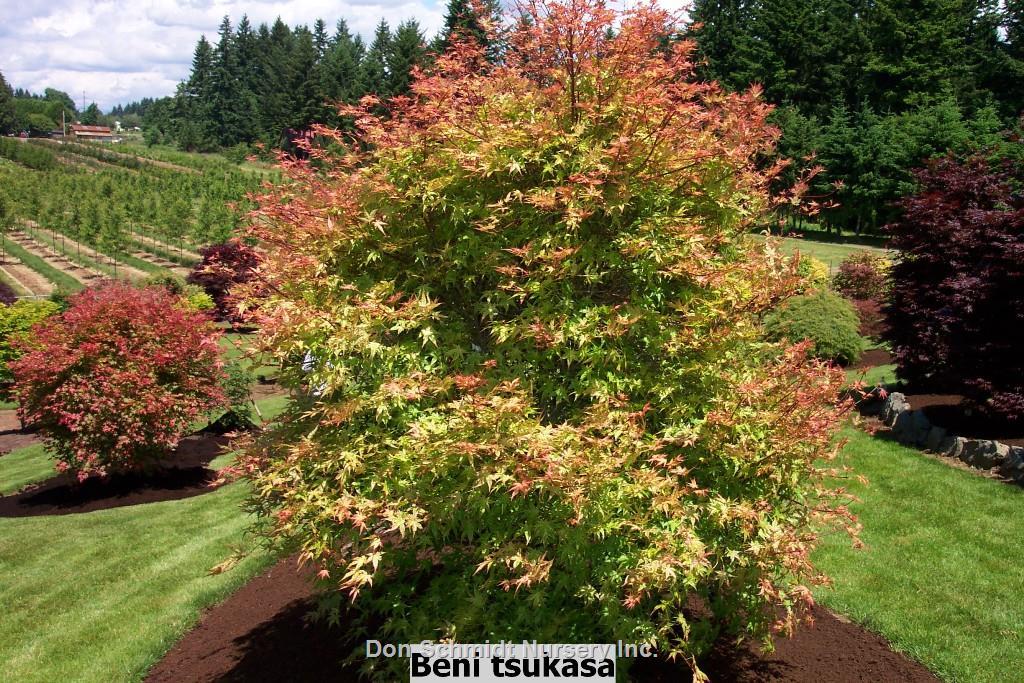 Acer Palmatum Beni Tsukasa Wholesale Nursery Supplies Plant
