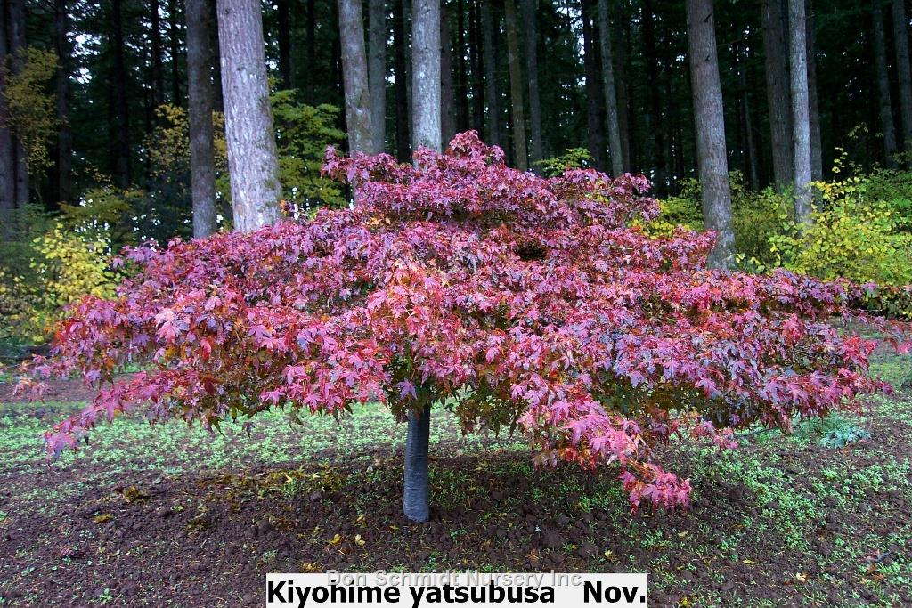 Image result for kiyohime japanese maple