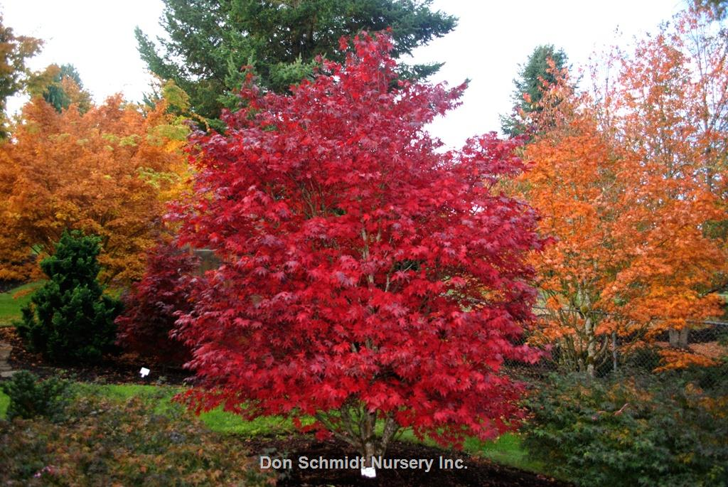 Acer Palmatum Red Garden Design Ideas