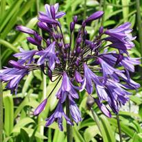 Agapanthus 'Storm Cloud' (African Lily or Lily-of-the-Nile)