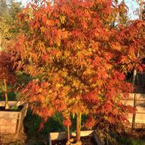 Acer Palmatum Var Dissectum Orange Flame Clump Wholesale