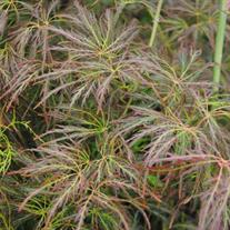 Acer palmatum 'Dr. Brown'