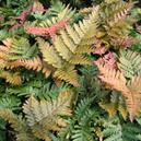 Ferns (Annuals & Perennials section)