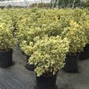 Euonymus japonicus 'Silver King'
