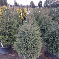 Countryside Nursery | Norway Spruce Christmas Trees