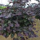 Cercis canadensis 'Ruby Falls' PP22097