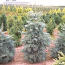 Abies concolor 'Blue Select'