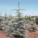 Abies concolor 'Candicans'