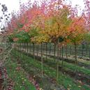 Acer truncatum x A. platanoides 'Warrenred'